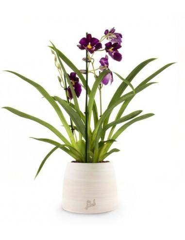 Phalaenopsis Miltoniopsis Viola