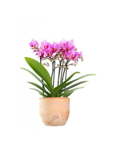 Phalaenopsis Boquetto Delight