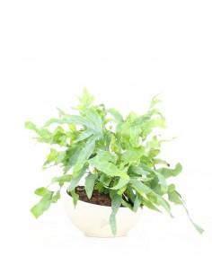 Phlebodium blue star vaso...
