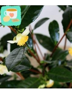 Pianta del tè (Camellia...