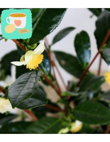 Pianta del tè (Camellia Sinensis) M