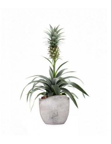 Pineapple Corona  Pianta ananas
