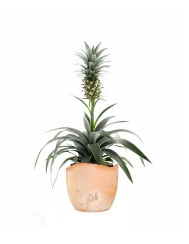 Pineapple Corona| Pianta ananas