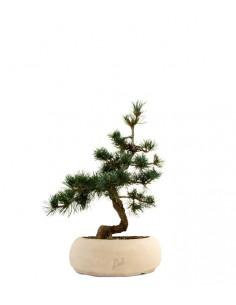 Pinus Pentaphilla M