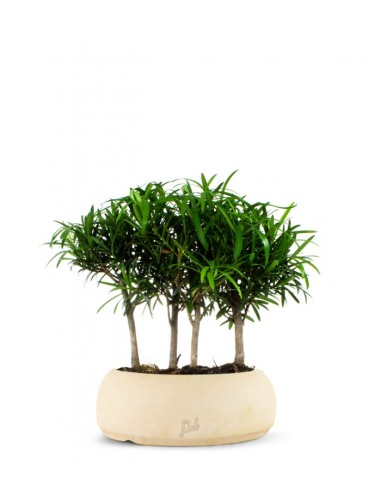 Podocarpus Boschetto L