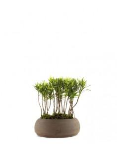 Podocarpus Boschetto S