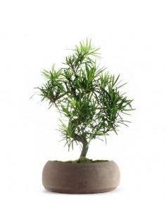 Podocarpus L