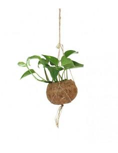 Pothos in fibra di cocco