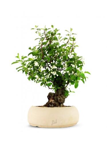 Prunus Mume XL