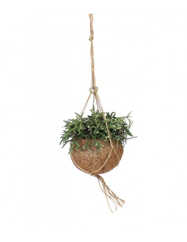 Rhipsalis pilocarpa in fibra di cocco