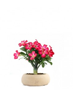 Rosa del deserto | Adenium