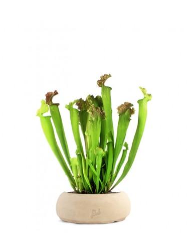Sarracenia Farnhamii XL