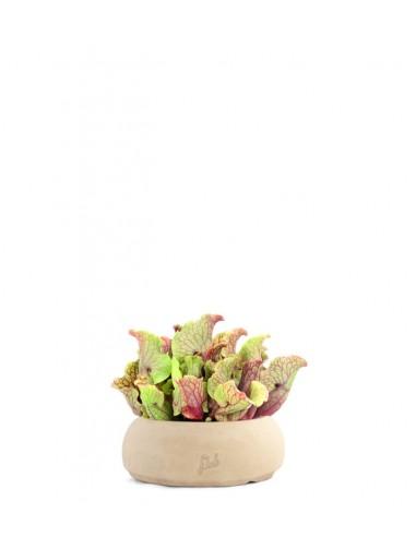 Sarracenia Purpurea Venosa XL