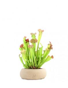 Sarracenia Velvet XL