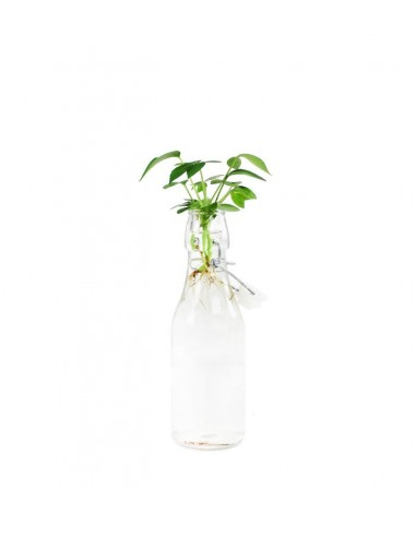 Schefflera idroponica in bottiglia