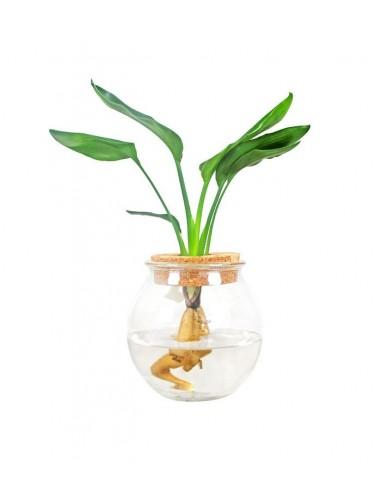 Strelitzia idroponica in vetro sfera