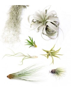 Tillandsia Box Large
