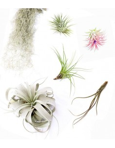 Tillandsia Box Medium