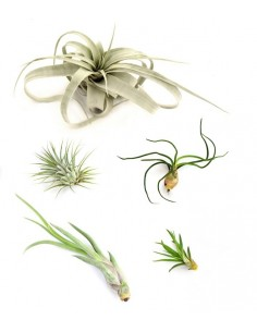 Tillandsia Box Small