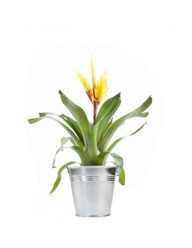Vriesea Intenso Yellow
