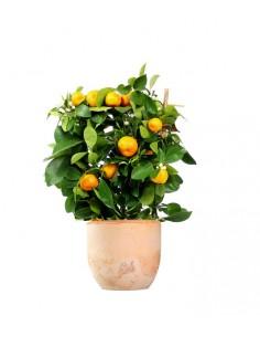 Limone calamondino spalliera