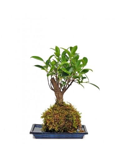 Ficus retusa in kokedama