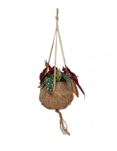 Begonia maculata in fibra...