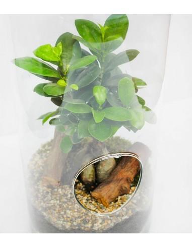 Ginseng Bonsai In Vetro Vendita Online