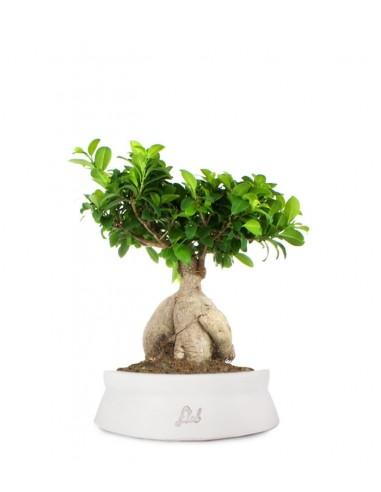 Ficus Ginseng L
