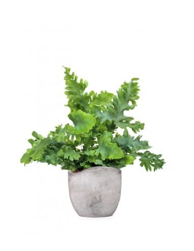 Phlebodium Aureum 'Davana' | Felce