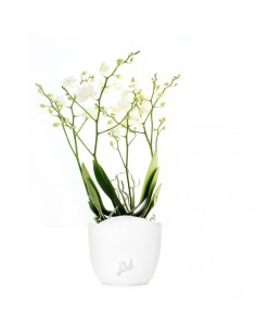 Orchidea |Phalaenopsis Sogo...