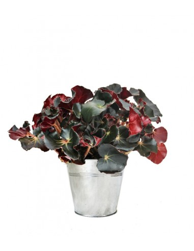 Begonia Jungle Black