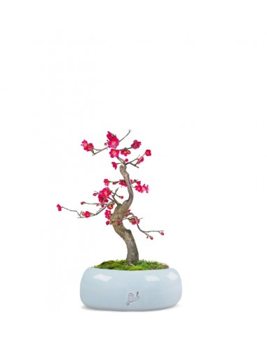 Prunus bonsai Giapponese fiore rosa S