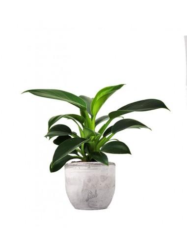 Filodendro Green Princess | Philodendron