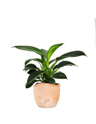 Filodendro Green Princess | Philodendron