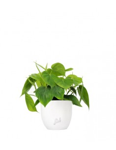 Filodendro Scandens