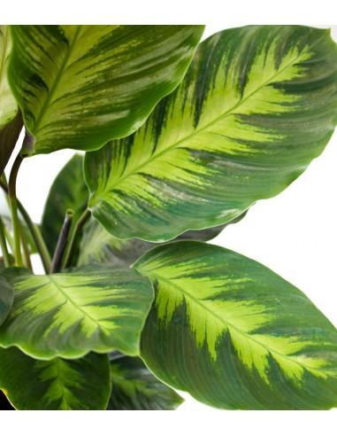 Calathea Green Shades