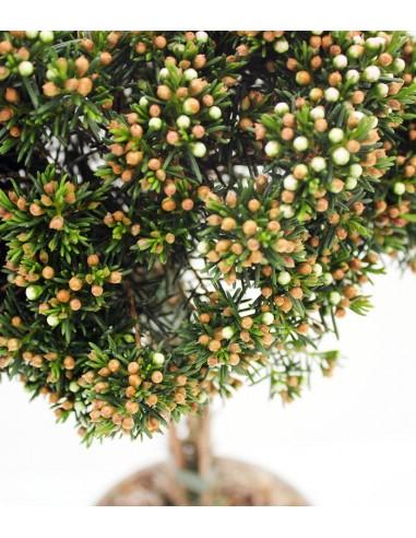 Wax Flower Alberello