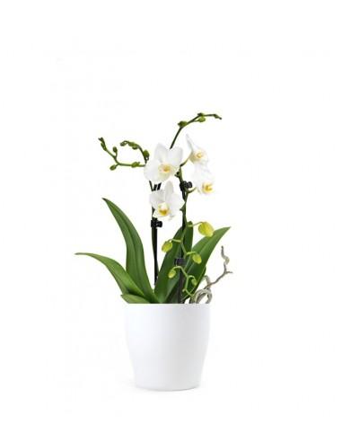 Orchidea Arco | Fiore bianco