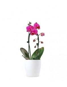 Orchidea Arco | Fiore fucsia