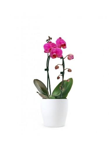 Orchidea Arco   Fiore fucsia
