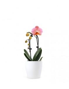 Orchidea Arco | Fiore rosa