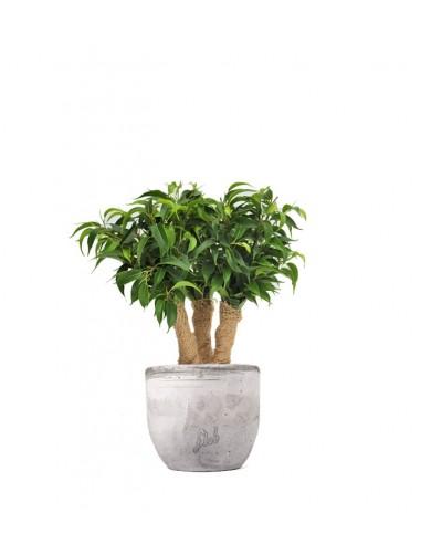 Ficus benjamin -  forest