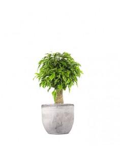 Ficus benjamin -  tronchetto