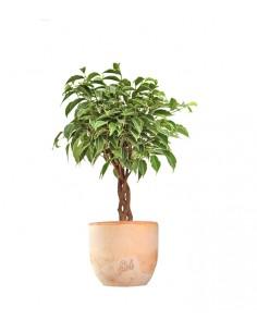 Ficus Benjamin Intrecciato