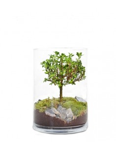Serissa bonsai in terrarium