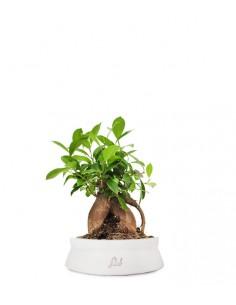 Ficus Retusa Bonsai M