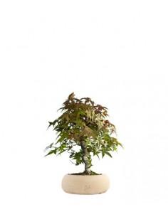 Acero Deshojo bonsai impalcato