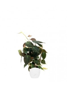 Filodendro Scandens Micans...