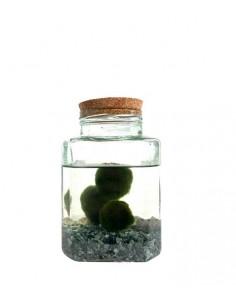 Marimo in vaso di vetro...